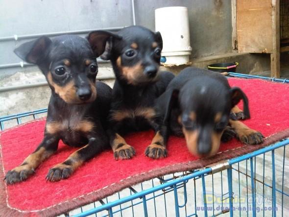 Dunia Anjing Jual Anjing Miniature Pinscher 4 Puppys Mini Pincer Ready For Booked Bali