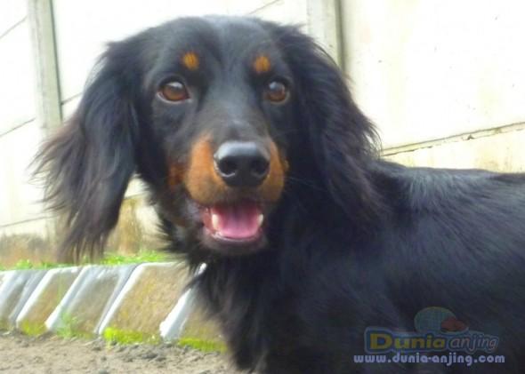 Jual Anjing Dachshund - For Sale Sepasang Indukan Teckel LONG HAIR - 3