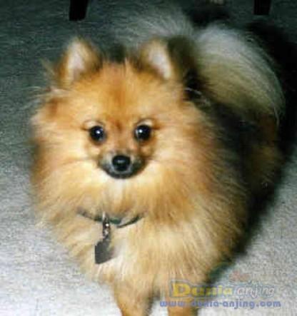 Pomerania (anjing)
