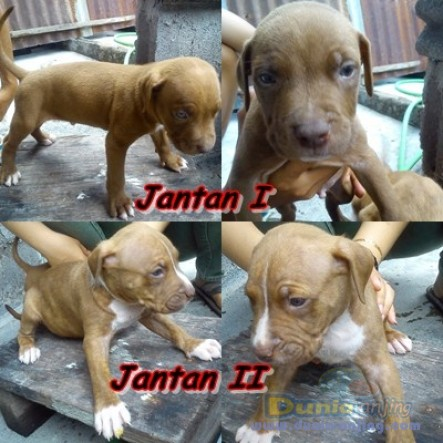 Jual Anjing American Pit Bull Terrier - Dijual Murah Puppies APBT - 2