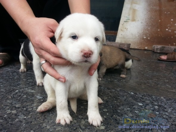 Golden retriever dalmatian mix puppies