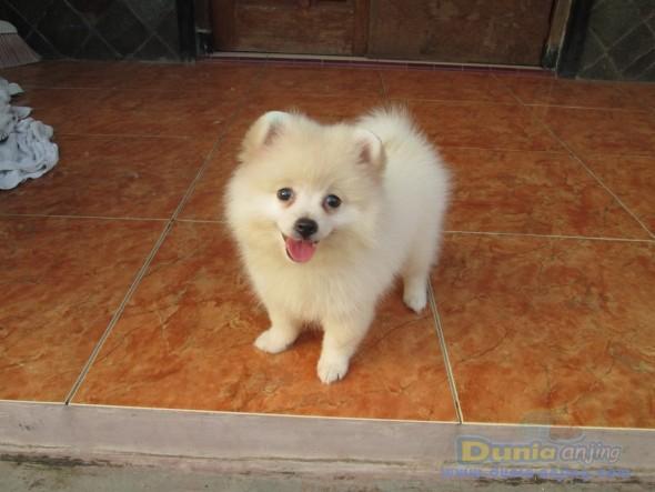 Jual Anjing Pomeranian - Anak-an Pom Putih