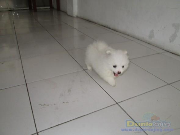 Jual Anjing Pomeranian - Jual Anak-an