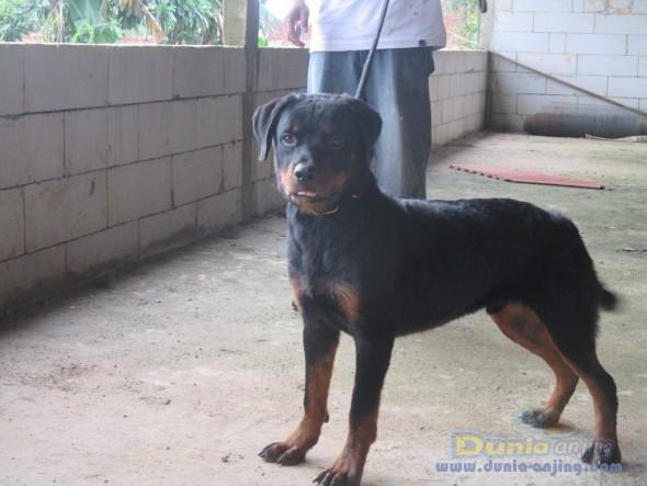 Dunia Anjing Jual Anjing Rottweiler Dijual Anjing Root Weler