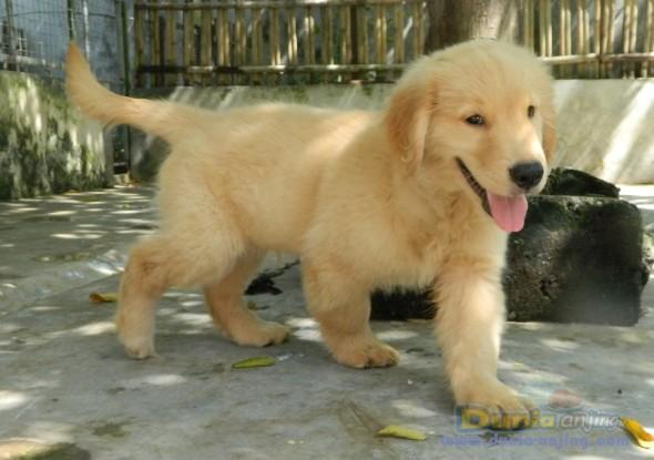 Jual Anjing Di Yogyakarta Anjingdijual