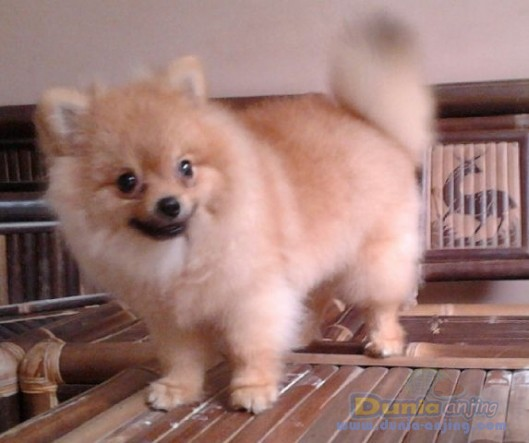 Jual Anjing Pomeranian - Minipom Mini Size