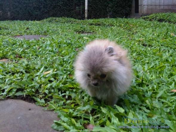 Dunia Anjing   Jual Anjing Pomeranian - Dijual Supermini