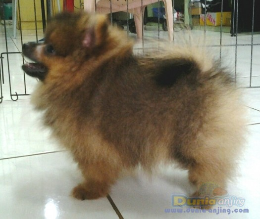 Jual Anjing Pomeranian - Jual Pupies