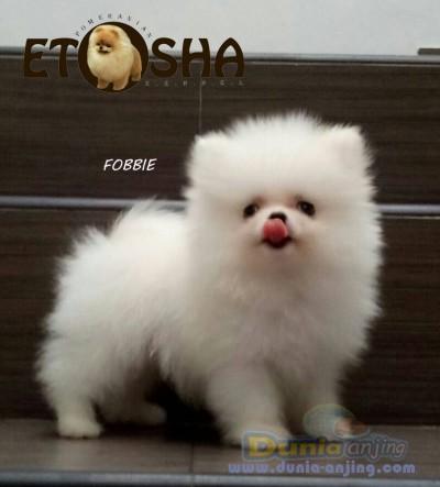 Dunia Anjing Jual Anjing Pomeranian Jual Anak Super Mini Pom Jantan Putih Excellent