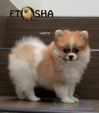 Dunia Anjing Jual Anjing Pomeranian Jual Anak Mini Pom Betina Party Colour Excellent