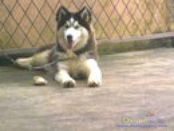Jual Anjing Siberian Husky - Big Female Siberian Husky.. - 4