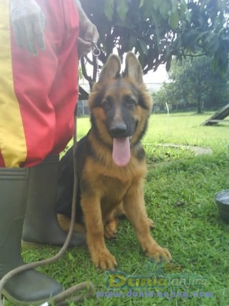 dunia anjing jual anjing german shepherd dog   januari