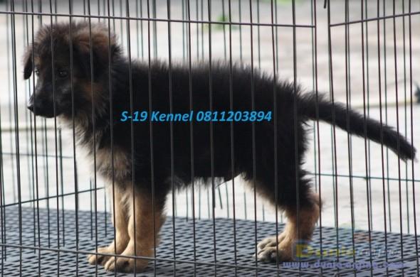 German Shepherd Dog - 4 Sale Male Anak Import!! ( Long Hair) - 1