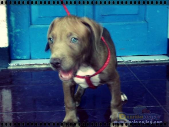 Jual Anjing American Pit Bull Terrier - Puppies Pitbull Dijual - 5