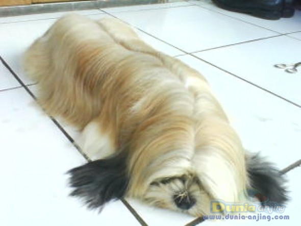 Jual Anjing Shih Tzu - Dijual Cepat Shih Tzu Betina !!!!! - 2