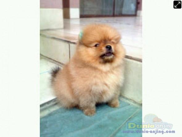 Jual Anjing Pomeranian - Murah,bagus 2 Pom Jantan Cream 1,75jt ,coklat