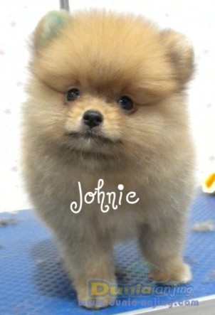Pomeranian Puppies For Sale: Pomeranian Puppies For Sale Texas