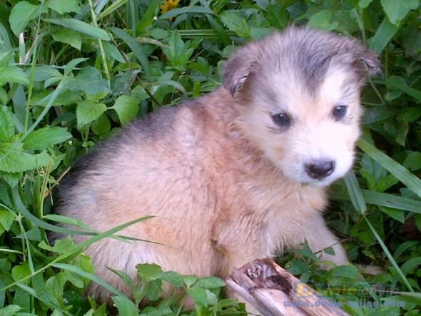 Jual Anjing Alaskan Malamute  - Alaskan Malamute Europe Foto Kedua