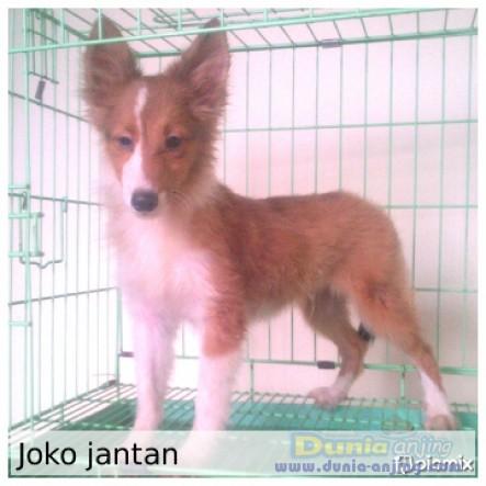 Jual Anjing Shetland Sheepdog  - Jl. : Anakan Shelland Sheepdog Turunan Import Thai Foto Utama