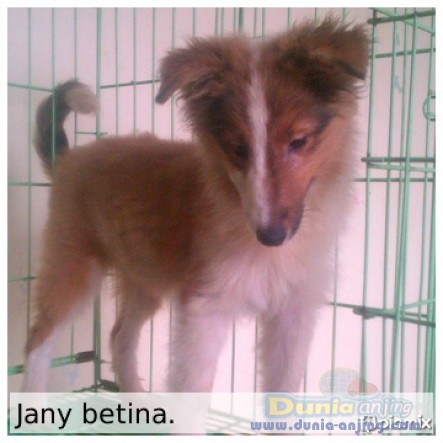 Jual Anjing Shetland Sheepdog  - Jl. : Anakan Shelland Sheepdog Turunan Import Thai Foto Kedua
