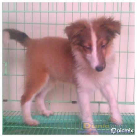 Jual Anjing Shetland Sheepdog  - Jl. : Anakan Shelland Sheepdog Turunan Import Thai Foto Keempat