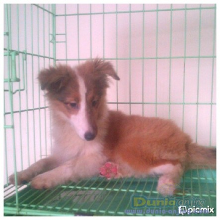 Jual Anjing Shetland Sheepdog  - Jl. : Anakan Shelland Sheepdog Turunan Import Thai Foto Keenam