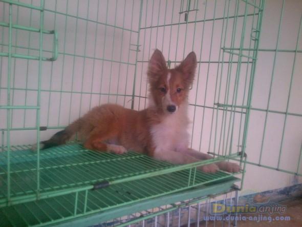 Jual Anjing Shetland Sheepdog  - Jl. : Anakan Shelland Sheepdog Turunan Import Thai Foto Kelima