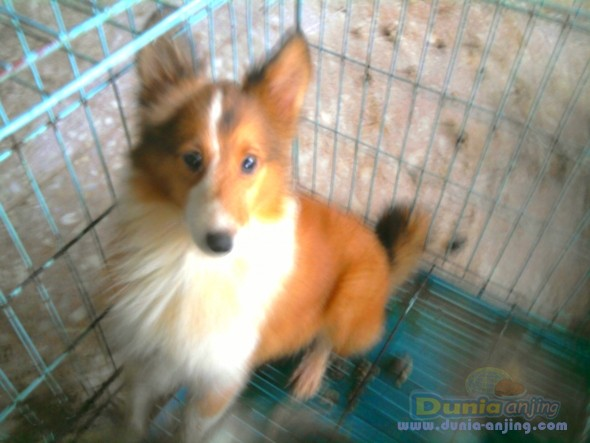 Jual Anjing Shetland Sheepdog  - Anakan Shetland Sheepdog 1 Pasang Turunan Import Foto Ketiga
