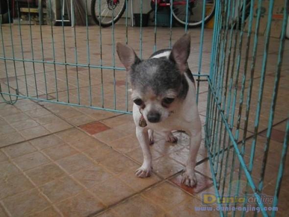 Jual Anjing Chihuahua  - Indukan Chihuahua Produkrif Foto Utama