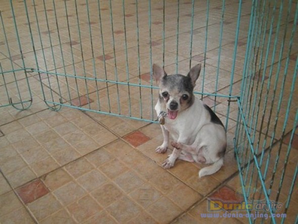 Jual Anjing Chihuahua  - Indukan Chihuahua Produkrif Foto Kedua