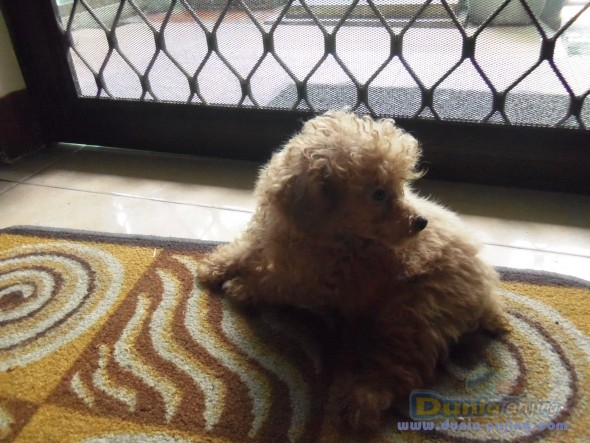 Jual anjing poodle - jual 16 anak anjing toy poodle (red, hitam) foto