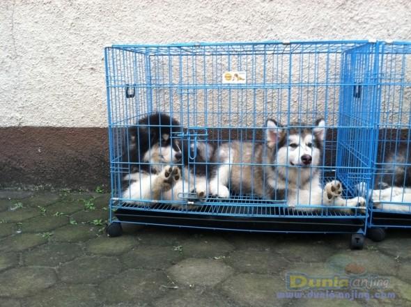 Jual Anjing Alaskan Malamute - Jual Alaskan Malamute Foto Utama