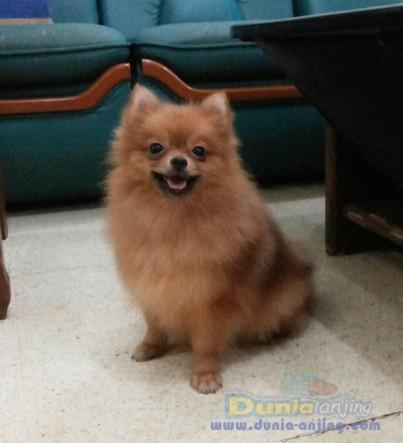 Berapa berat anjing pomerian?