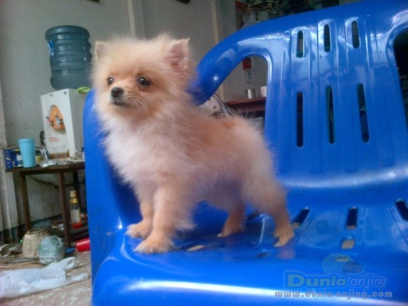 Informasi iklan anak anjing lucu imut kecil moncong pendek sehat