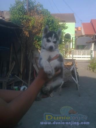 Dunia Anjing   Jual Anjing Siberian Husky - Siberian Husky