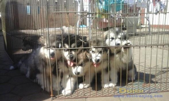 Jual Anjing Alaskan Malamute  - Alaskan Malamute Puppies Foto Utama