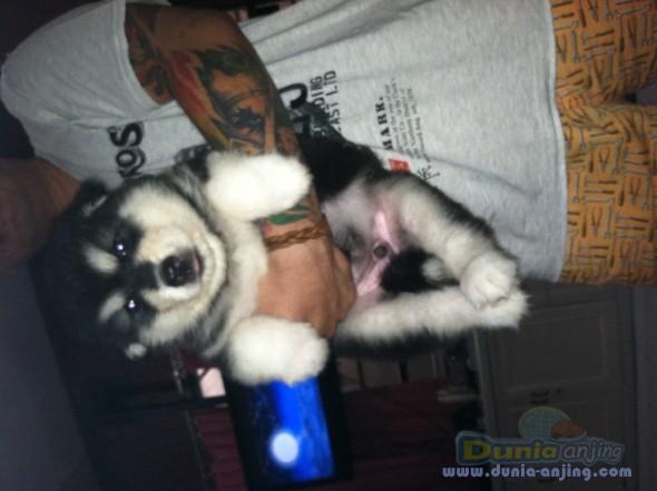 Jual Anjing Alaskan Malamute  - Alaskan Malamute Puppies Foto Kelima