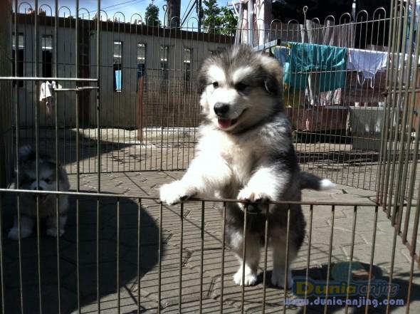 Jual Anjing Alaskan Malamute  - Alaskan Malamute Puppies Foto Keenam
