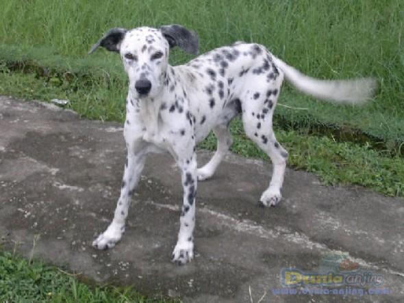 Jual Anjing Dalmatian  - Dijual Dalmatian Jantan Dewasa Foto Utama