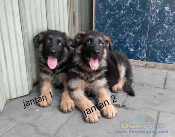 dunia anjing jual anjing german shepherd dog   anakan