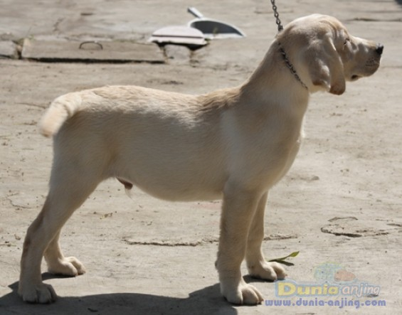 Jual Anjing Labrador Retriever  - Puppies Big Size  Male 4 Sale Foto Utama