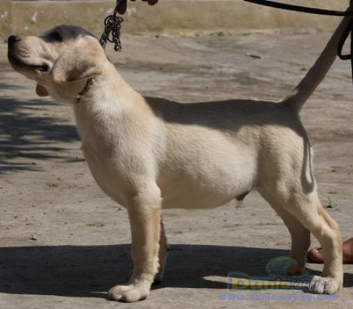Jual Anjing Labrador Retriever  - Puppies Big Size  Male 4 Sale Foto Kedua
