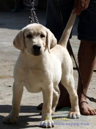 Jual Anjing Labrador Retriever  - Puppies Big Size  Male 4 Sale Foto Ketiga