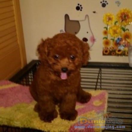 Harga red toy poodle 2015