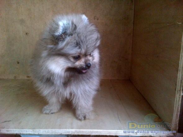 Jual Anjing Pomeranian  - Jl Mini Pom Btn Hi Quality Foto Kedua