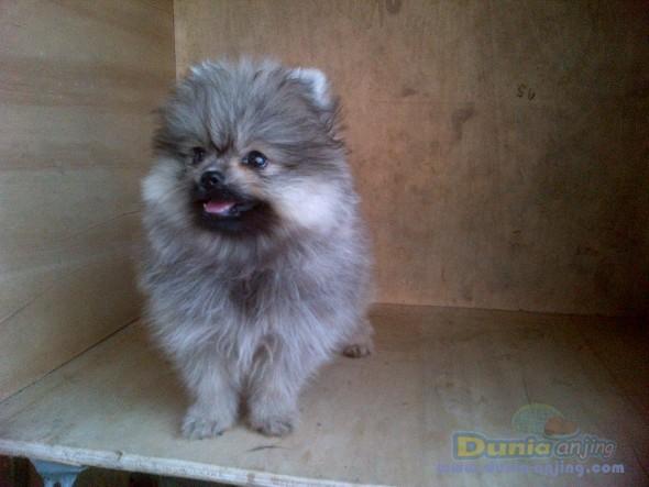 Jual Anjing Pomeranian  - Jl Mini Pom Btn Hi Quality Foto Ketiga