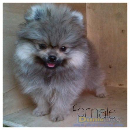 Jual Anjing Pomeranian  - Jl Mini Pom Btn Hi Quality Foto Keempat