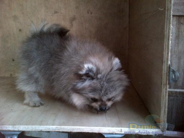 Jual Anjing Pomeranian  - Jl Mini Pom Btn Hi Quality Foto Kelima