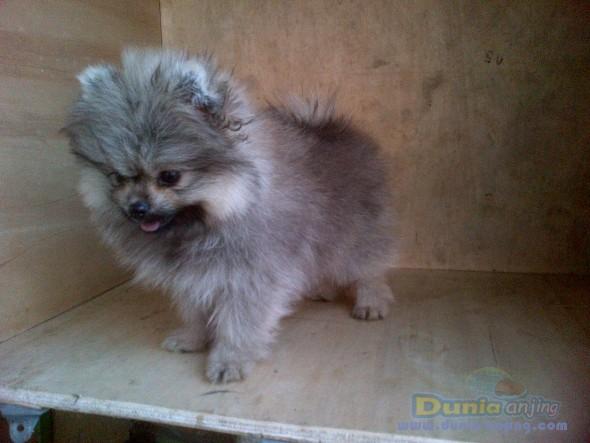 Jual Anjing Pomeranian  - Jl Mini Pom Btn Hi Quality Foto Keenam