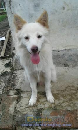 Jual Anjing Kintamani  - Anjing Kintamani Bali Foto Utama